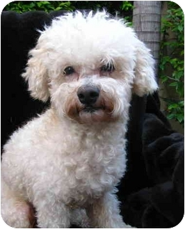 Poodle (Miniature)/Bichon Frise Mix Dog for adoption in Irvine, California - Rupert