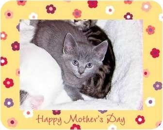 Russian Blue Kitten for adoption in Taylor Mill, Kentucky - Natasha-7 week baby