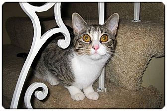 Domestic Shorthair Cat for adoption in Sterling Heights, Michigan - Tigress - ADOPTED!