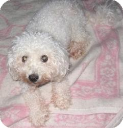 Bichon Frise Dog for adoption in Wilmington, Delaware - Princess