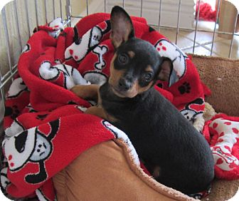 Chihuahua Mix Puppy for adoption in West Palm Beach, Florida - ROLY POLY