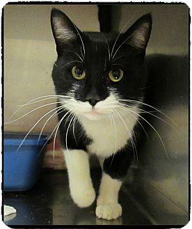 Domestic Shorthair Cat for adoption in Marietta, Georgia - SHADOW