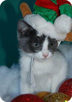 Domestic Mediumhair Kitten for adoption in Flower Mound, Texas - Shy Guy