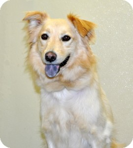 Collie Mix Dog for adoption in Port Washington, New York - Hunter