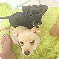 Adopt A Pet :: Abby - Brea, CA