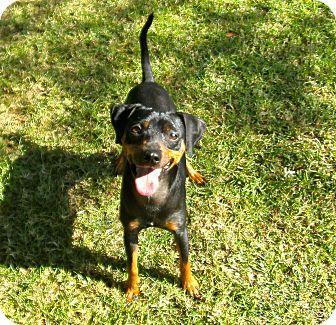 Miniature Pinscher Dog for adoption in El Cajon, California - Frazier