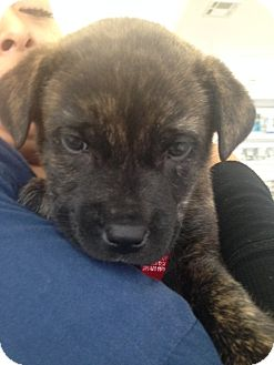 Chihuahua/Terrier (Unknown Type, Small) Mix Puppy for adoption in Los Angeles, California - BRIDGET