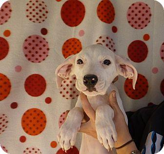 Labrador Retriever Mix Puppy for adoption in Oviedo, Florida - Angie