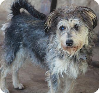 Schnauzer (Standard) Mix Dog for adoption in Woonsocket, Rhode Island - Hobbit
