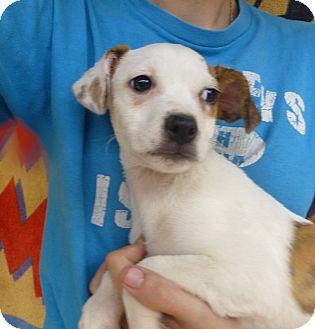 Beagle/Corgi Mix Puppy for adoption in Oviedo, Florida - Minnie