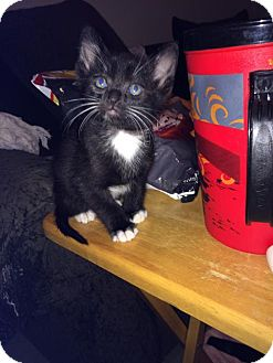 Domestic Shorthair Kitten for adoption in San Marcos, Texas - Sox