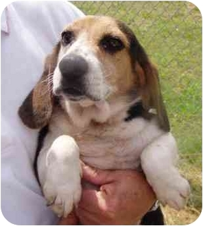 Beagle Dog for adoption in Tullahoma, Tennessee - Twinkee
