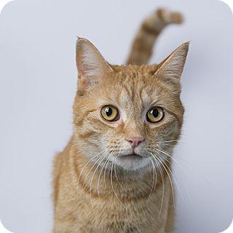 Domestic Shorthair Cat for adoption in Wilmington, Delaware - Katzen Jammer
