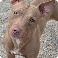 Adopt A Pet :: Penny - Toledo, OH