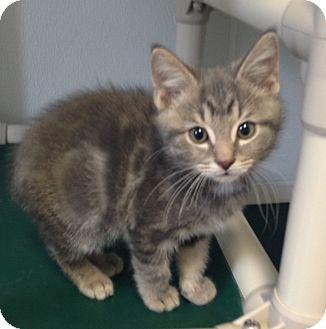 Domestic Shorthair Kitten for adoption in Greensburg, Pennsylvania - Tacoma