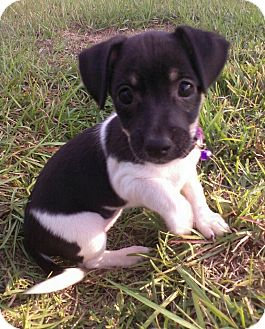 Terrier (Unknown Type, Small) Mix Puppy for adoption in Middletown, Rhode Island - Clarice