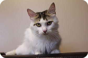 Domestic Longhair Cat for adoption in Seville, Ohio - Magnolia