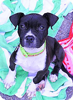 Boston Terrier/Boxer Mix Puppy for adoption in Rochester, New Hampshire - Preslee