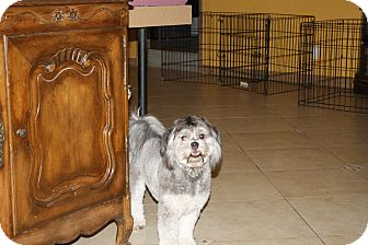 Lhasa Apso/Poodle (Miniature) Mix Dog for adoption in Mesa, Arizona - Neeko