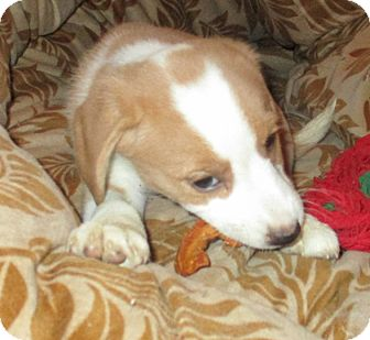 Beagle Mix Puppy for adoption in Oakland, Michigan - Liberty
