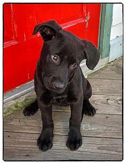 Labrador Retriever/Retriever (Unknown Type) Mix Puppy for adoption in Freeport, New York - Gil