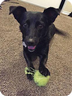 Corgi/Labrador Retriever Mix Dog for adoption in Rigaud, Quebec - Petunia