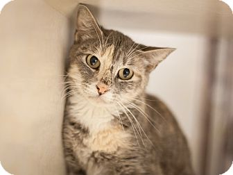 Domestic Shorthair Cat for adoption in Dallas, Texas - Lizzie