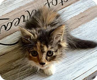 Calico Kitten for adoption in San Dimas, California - Nala