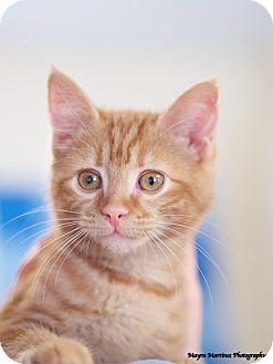 Domestic Shorthair Kitten for adoption in Homewood, Alabama - Venus