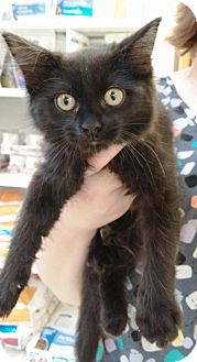 Domestic Longhair Cat for adoption in Fenton, Missouri - Sammi