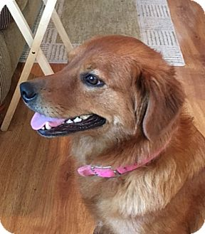 Golden Retriever Mix Dog for adoption in New Canaan, Connecticut - Precious