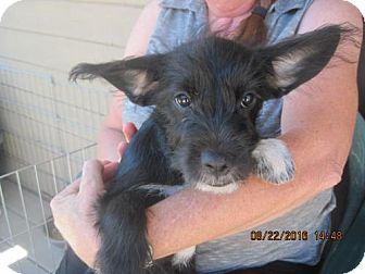 Poodle (Miniature)/Terrier (Unknown Type, Medium) Mix Puppy for adoption in La Mesa, California - DOLLY