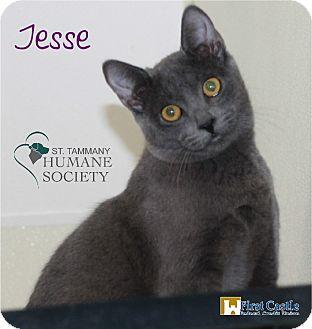 Domestic Shorthair Kitten for adoption in Covington, Louisiana - Jesse