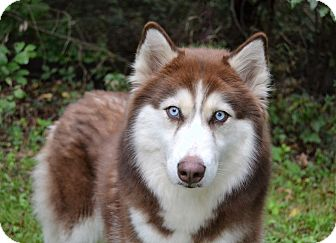 Siberian Husky Dog for adoption in Michigan City, Indiana - Bella