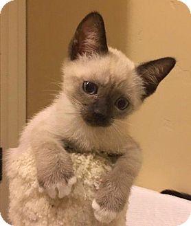 Snowshoe Kitten for adoption in Las Vegas, Nevada - Oliver
