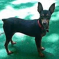 Adopt A Pet :: Coco Chanel - Pelzer, SC