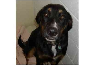 Rottweiler/Collie Mix Puppy for adoption in Huntingdon, Pennsylvania - Blaize
