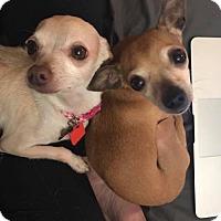 Adopt A Pet :: Gigi - Maple Grove, MN