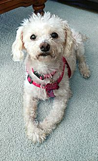 Poodle (Miniature) Dog for adoption in Redondo Beach, California - Jasmine is a sweet senior
