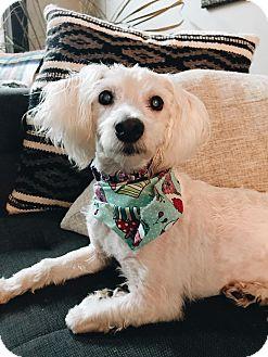 Poodle (Miniature) Mix Dog for adoption in Philadelphia, Pennsylvania - BETTY WHITE!