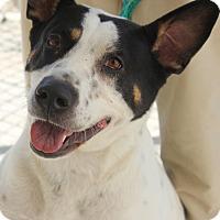Adopt A Pet :: JULIE - Clayton, NJ