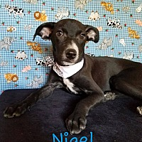 Adopt A Pet :: Nigel - Pluckemin, NJ