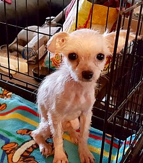 Australian Terrier Mix Puppy for adoption in Cave Creek, Arizona - Pan