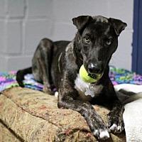 Adopt A Pet :: Boomerang - Stafford, VA
