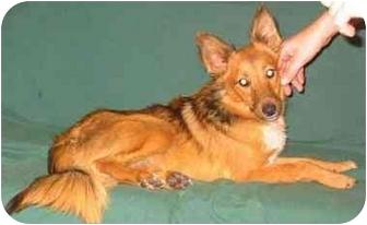 Sheltie, Shetland Sheepdog Mix Dog for adoption in New Carlisle, Indiana - Annie