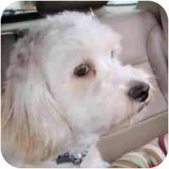 Bichon Frise Mix Puppy for adoption in La Costa, California - Kelsey