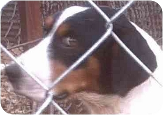 Beagle/Border Collie Mix Dog for adoption in Muskogee, Oklahoma - Maria