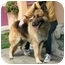 Photo 3 - Belgian Tervuren Mix Dog for adoption in Berkeley, California - Rocco