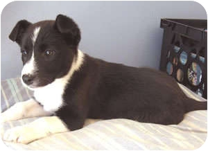 Border Collie Mix Puppy for adoption in Oliver Springs, Tennessee - Cassie