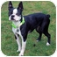 Photo 2 - Boston Terrier Dog for adoption in Lynnwood, Washington - Kendall